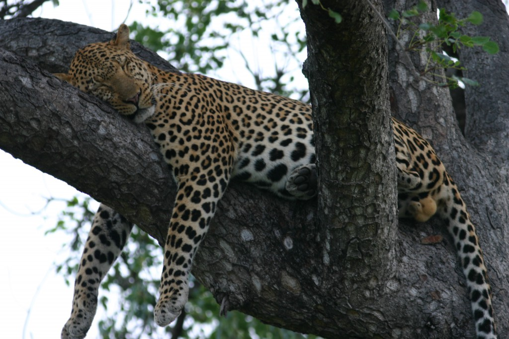 sleeping-leopard_3365495133_o